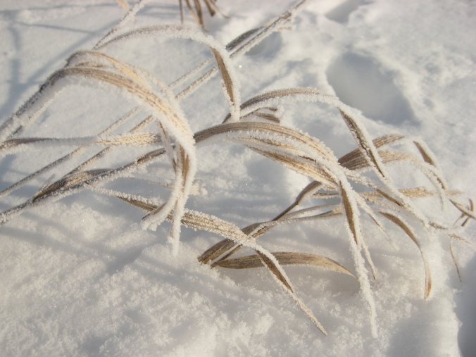 Frost-encrusted grasses