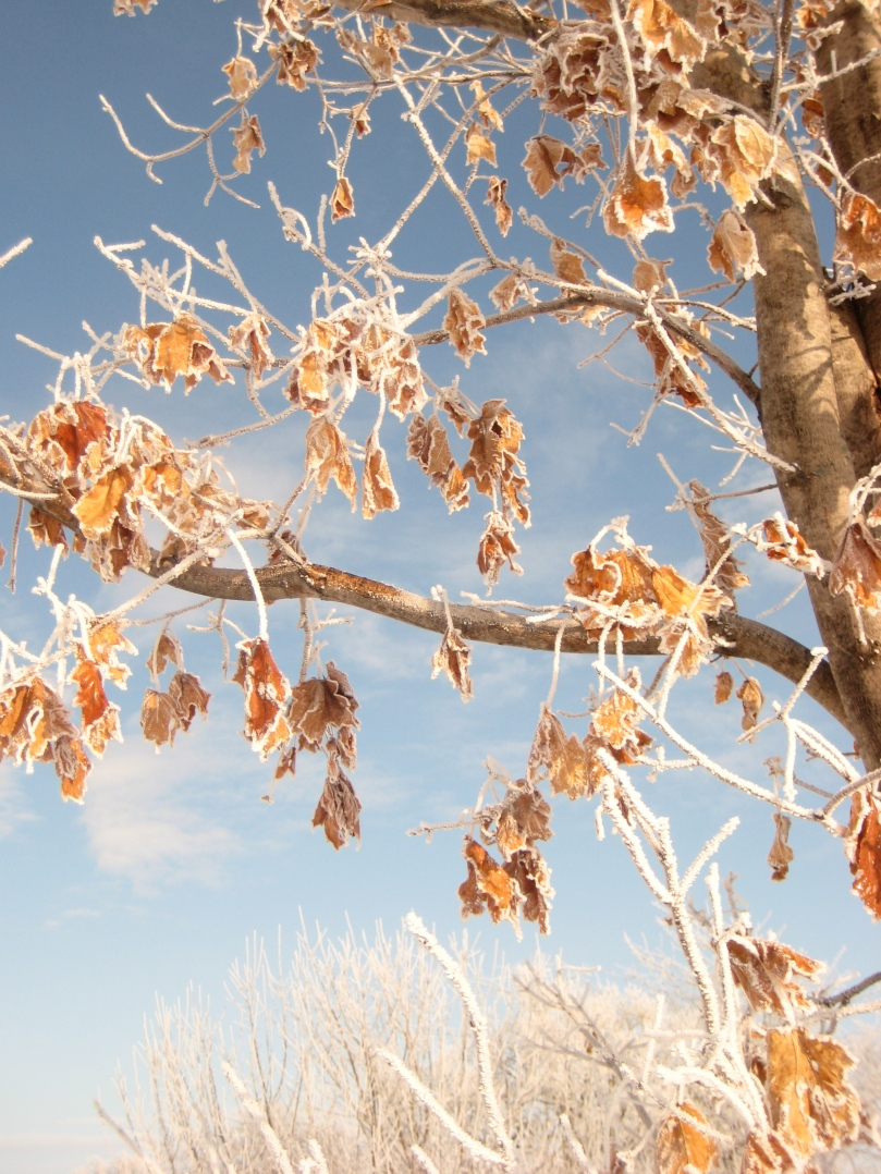 A beautiful contrast between the blue sky and the orange leaves and the white snow