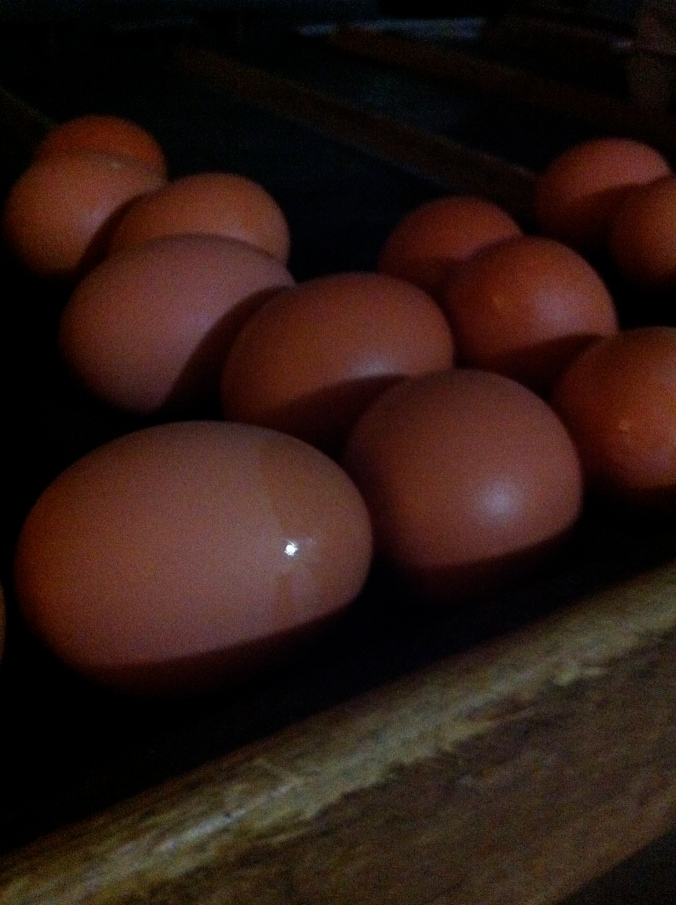 Eggs on grading table